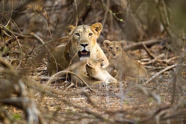 インドのギル森林国立公園で2頭の子どもと一緒にくつろぐインドライオンの母親(PHOTOGRAPH BY URI GOLMAN, NATURE PICTURE LIBRARY)